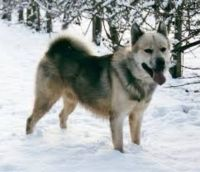 greenland dog dog