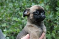 Griffon Bleu de Gascogne Puppies for sale in Los Angeles, CA, USA. price: NA