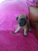 Griffon Bleu de Gascogne Puppies for sale in Manchester, NH, USA. price: NA