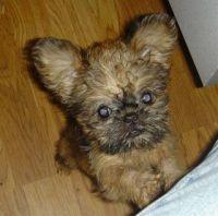 Griffon Bleu de Gascogne Puppies for sale in Phoenix, AZ, USA. price: NA