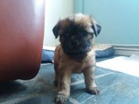 Griffon Fauve de Bretagne Puppies Photos