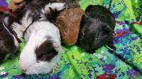 Guinea Pig Rodents for sale in Modesto, CA, USA. price: NA