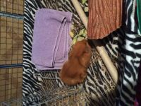 Guinea Pig Rodents for sale in Meriden, CT, USA. price: NA
