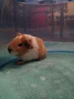 Guinea Pig Rodents for sale in Los Angeles, CA, USA. price: NA