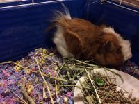 Guinea Pig Rodents for sale in Detroit, MI, USA. price: NA