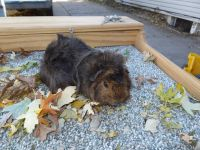Guinea Pig Rodents for sale in Lincoln, NE, USA. price: NA
