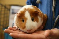 Guinea Pig Rodents for sale in Peoria, AZ, USA. price: NA