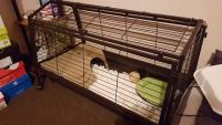 Guinea Pig Rodents for sale in El Paso, TX, USA. price: NA