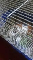 Guinea Pig Rodents for sale in Houston, TX, USA. price: NA