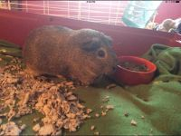Guinea Pig Rodents for sale in Philadelphia, PA, USA. price: NA