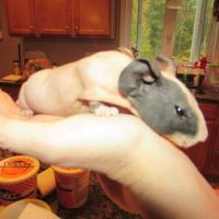 Guinea Pig Rodents for sale in Attleboro, MA, USA. price: NA