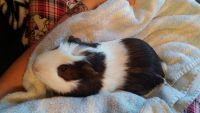 Guinea Pig Rodents for sale in Grand Blanc, MI 48439, USA. price: NA
