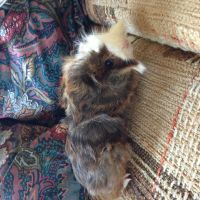 Guinea Pig Rodents for sale in Newark, OH, USA. price: NA