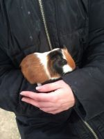 Guinea Pig Rodents for sale in Los Angeles, CA 90005, USA. price: NA