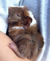 Guinea Pig Rodents for sale in Hammond, LA, USA. price: NA
