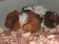 Guinea Pig Rodents for sale in Saginaw, MI, USA. price: NA