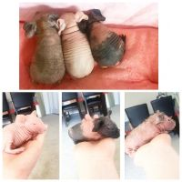 Guinea Pig Rodents for sale in Solon, OH 44139, USA. price: NA