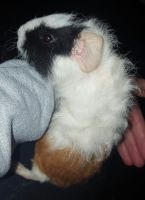 Guinea Pig Rodents for sale in Baldwinsville, NY 13027, USA. price: NA