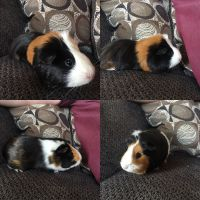 Guinea Pig Rodents for sale in Hartland, MI 48353, USA. price: NA