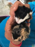Guinea Pig Rodents for sale in West Palm Beach, FL, USA. price: NA