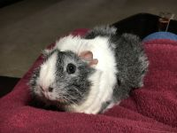 Guinea Pig Rodents for sale in Hilliard, OH, USA. price: NA