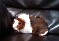Guinea Pig Rodents for sale in Selma, NC, USA. price: NA