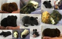 Guinea Pig Rodents for sale in Abilene, KS 67410, USA. price: NA