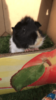 Guinea Pig Rodents for sale in Dearborn, MI, USA. price: NA