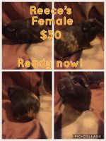 Guinea Pig Rodents for sale in Greenville, MI 48838, USA. price: NA