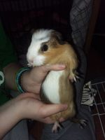 Guinea Pig Rodents for sale in Garden City, MI 48135, USA. price: NA