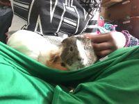 Guinea Pig Rodents for sale in Trenton, NJ 08618, USA. price: NA