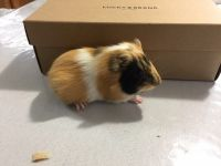 Guinea Pig Rodents for sale in Malvern, PA 19355, USA. price: NA