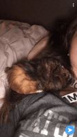 Guinea Pig Rodents for sale in Chesterton, IN 46304, USA. price: NA