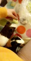 Guinea Pig Rodents for sale in Grand Rapids, MI, USA. price: NA