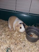 Guinea Pig Rodents for sale in Ithaca, MI 48847, USA. price: NA