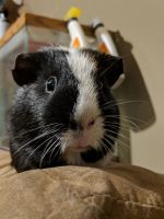 Guinea Pig Rodents for sale in Medway, OH 45341, USA. price: NA