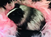 Guinea Pig Rodents for sale in Bangor, ME 04401, USA. price: NA
