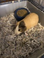 Guinea Pig Rodents for sale in Trinity, NC 27370, USA. price: NA