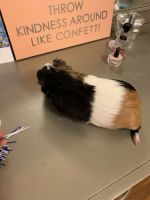 Guinea Pig Rodents for sale in 8739 W Mill Rd, Milwaukee, WI 53225, USA. price: NA