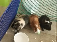 Guinea Pig Rodents for sale in San Lorenzo, CA 94580, USA. price: NA