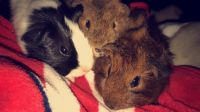 Guinea Pig Rodents for sale in St. Louis, MO, USA. price: NA