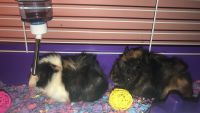 Guinea Pig Rodents for sale in Fairmont, WV 26554, USA. price: NA