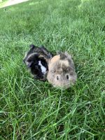 Guinea Pig Rodents for sale in Omaha, NE, USA. price: NA