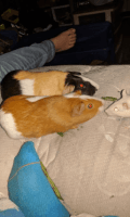 Guinea Pig Rodents for sale in Deale, MD, USA. price: NA