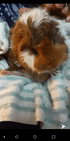 Guinea Pig Rodents for sale in Brooklyn, NY, USA. price: NA