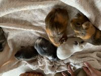 Guinea Pig Rodents for sale in Chesapeake, VA, USA. price: NA