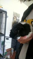 Guinea Pig Rodents for sale in Evansville, IN, USA. price: NA