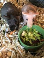 Guinea Pig Rodents for sale in York, PA, USA. price: NA