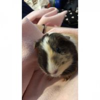 Guinea Pig Rodents for sale in Milford, OH, USA. price: NA