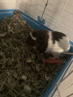 Guinea Pig Rodents for sale in Mobile, AL 36613, USA. price: NA